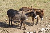 image of wild donkey  - Image of a domestic donkey in farm. ** Note: Soft Focus at 100%, best at smaller sizes - JPG
