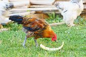 foto of fowl  - young brown fowl eating green - JPG