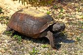 foto of gopher  - Gopher Tortoise  - JPG