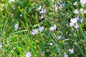 stock photo of chicory  - Wild blue flowers chicory on the meadow - JPG