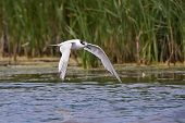 foto of tern  - Sandwich Tern in flight close to the water surface - JPG