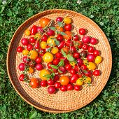 stock photo of picking tray  - Tray of assorted colorful tomatoes from garden on natural grass background