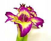 pic of gladiolus  - a mauve yellow gladiolus to white reason - JPG