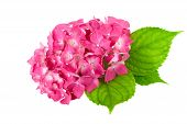 picture of hydrangea  - flower pink with green leaf of Hydrangea plant isolated on white  background - JPG