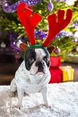 image of rudolph  - French bulldog with reindeer horns under Christmas tree - JPG