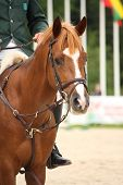 stock photo of bridle  - Brown horse portrait with bridle during horse show - JPG