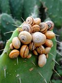 stock photo of convocation  - Unarranged meeting of snails on a thorny prickly pear leaf - JPG