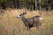 picture of mule  - A large mule deer buck standing in a meadow with aspen trees in the background in Rocky Mountain National Park near Estes Park Colorado - JPG