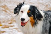 picture of australian shepherd  - Barkley - JPG