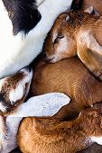 image of baby goat  - image of baby goat sleep in the farm - JPG