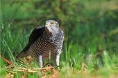 stock photo of goshawk  - Photo of wild northern goshawk standing on the ground in forest clearing - JPG