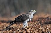 picture of goshawk  - Photo of wild northern goshawk in a forest clearing - JPG