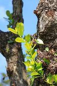 pic of parasite  - parasite plant on big tree and blue sky - JPG