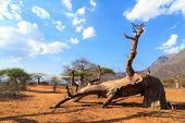 picture of baobab  - Broken Trunk of baobab tree in a boabab forest in Africa - JPG