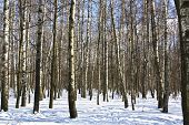 picture of snow forest  - Winter lansdcape  - JPG