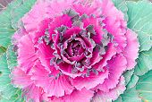stock photo of purple rose  - Background of purple and green decorative ornamental cabbage rose - JPG
