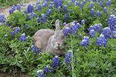 picture of bluebonnets  - A sweet bunny hiding in a field of Texas Bluebonnets - JPG