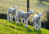 picture of spring lambs  - Three spring lambs on hillside backlit by setting sun - JPG