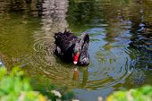 stock photo of black swan  - Black swan bending its neck to find food in the water - JPG