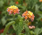 stock photo of lantana  - Lantana Camara blossom, selective focus on the flower