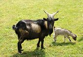 picture of tibetan  - Tibetan nanny goat with a baby kid grazing in a green grassy pasture standing sideways looking at the camera - JPG