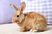 stock photo of dwarf rabbit  - Cute rabbit on sofa - JPG
