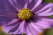 stock photo of cosmos flowers  - Closeup Of Purple Cosmos - JPG