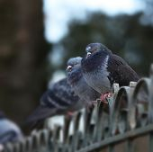 image of bird fence  - Pigeons standing in a row on a fence - JPG