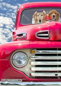 foto of dice  - Pair of golden retrievers in a red retro truck with fuzzy dice - JPG