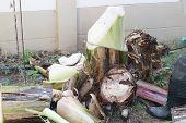 picture of banana tree  - gardener cut the banana tree in the garden - JPG