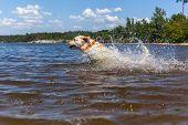 image of bathing  - Labrador bathing in the river - JPG