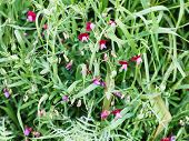 stock photo of sweet pea  - Sweet pea flowers in wild meadow after rain in Sicily Italy in spring - JPG