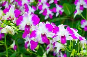 image of orquidea  - Beautiful violet Orchids Phalaenopsis Hybrid flower in the garden - JPG