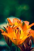 stock photo of stargazer-lilies  - orange lilies blooming in the garden, spring