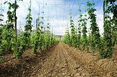 stock photo of hop-plant  - Hops field - JPG