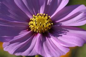 image of cosmos flowers  - Closeup Of Purple Cosmos - JPG