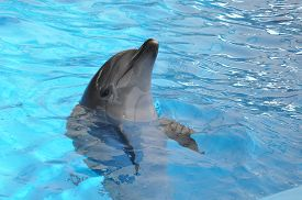 pic of bottlenose dolphin  - one bottlenose dolphin in blue pool water - JPG