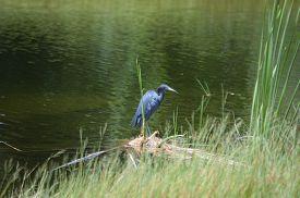 picture of marshlands  - Little Blue Heron standing in marshland amongst sawgrass - JPG