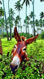 foto of headstrong  - Donkey funny face portrait in Hawaii pasture - JPG