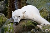 foto of polar bears  - Resting Polar Bear - JPG