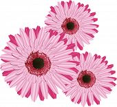 image of gerbera daisy  - Three Gerberas pink on a white background - JPG