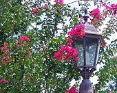 stock photo of crepe myrtle  - blooming crape myrtle shrub behind street lamp - JPG