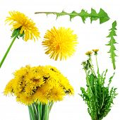 Collection of  yellow dandelions  isolated on white background
