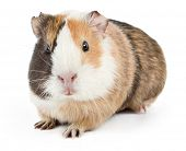 picture of gerbil  - brown guinea pig on white isolated - JPG