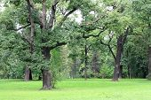 Old oaks in the park. St-Petersburg, Russia