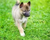 A Beautiful Siberian Laika Puppy On The Grass poster