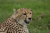 Cheetah Botswana Africa Savannah Wild Animal Mammal poster