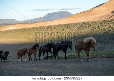 poster of Icelandic Horse In The Field Of Scenic Nature Landscape Of Iceland. The Icelandic Horse Is A Breed O