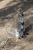 The Red Necked Mother Wallaby Has A Joey In Her Pouch poster