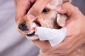 Vet Cleaning Pet Dog Teeth Coated With Plaque With Swab poster
